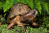 1R40-060x  Eastern Box Turtle - Terrapene carolina