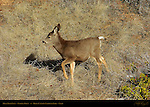 Mule Deer Fawn in Winter, Black-tailed Deer, Odocoileus hemionus, Sunrise Point, Bryce Canyon National Park, Utah