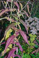 Eupatorium perfoliatum Boneset in autumn fall foliage color