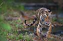 16 months old Bengal tiger cub (Panthera tigris) approaching, alert, dry season