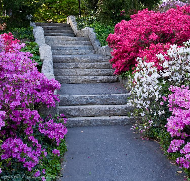 Spring Blooms Of Azalea Kaye M Debona Photography