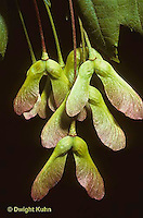 MP03-007a  Red Maple - seeds - Acer rubrum