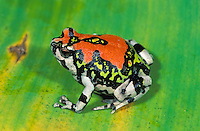 .Red Rain Frog (Scaphiophryne gottlebei), adult, Isalo National Park, Madagascar
