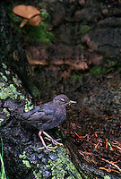 517953048 a wild adult american dipper or water ouzel cinchus mexicanus perches on a log with bug prey in its beak along a stream in the eastern sierras of central california