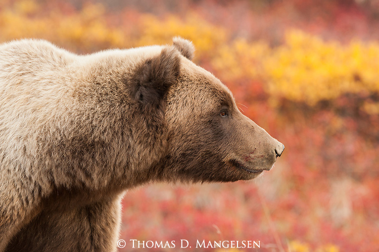 A portrait of a grizzly bear in Denali National Park, Alaska.