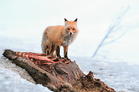 Red fox feeds on moose carcass, Denali State Park, Alaska
