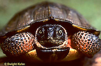 1R07-023e  Eastern Box Turtle - pulled into shell - Terrapene carolina
