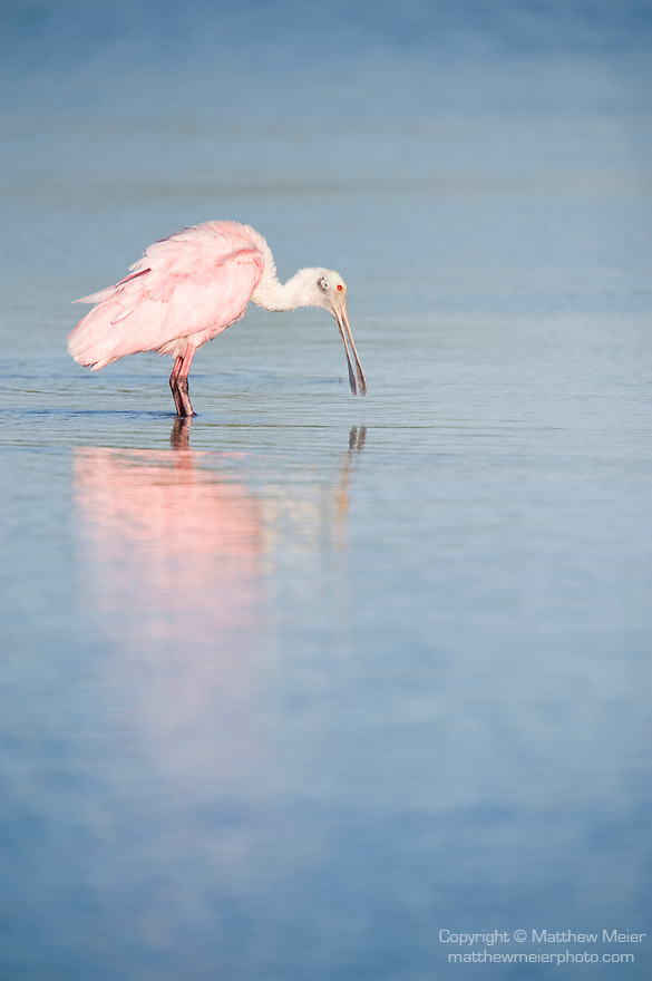 Ding Darling National Wildlife Refuge, Sanibel Island, Florida; a Roseate Spoonbill (Ajaia ajaja) bird foraging for food in the shallow water © Matthew Meier Photography, matthewmeierphoto.com All Rights Reserved