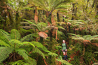 Female tramper on track in rainforest under tree ferns, Westland Tai Poutini National Park, West Coast, World Heritage Area, New Zealand MR
