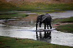Africa, Botswana, Savute. Elephant crossing river at Savute Elephant Camp.