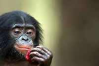 Bonobo male baby aged 1 year eating fruit (Pan paniscus), Lola Ya Bonobo Sanctuary, Democratic Republic of Congo.