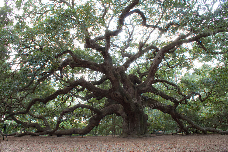 Angel Oak Tree in Johns Island South Carolina Live Oak