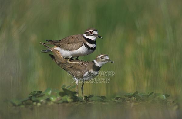 Killdeer, Charadrius vociferus,pair mating, Welder Wildlife Refuge, Sinton, Texas, USA