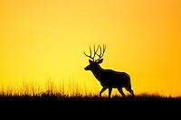 Trophy mule deer buck during the rut at dawn