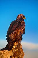 5210600027 a captive golden eagle aquila chrysaetos perches on a rock outcrop in central colorado this raptor is a falconers bird
