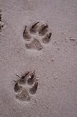 German Shepherd dog foot prints in beach sand.