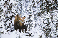 Cow moose in snowy boreal forest of spruce trees, Brooks range, Alaska
