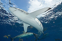 TH2559-D. Silky Sharks (Carcharhinus falciformis), grow to 3.3m, usually pelagic, sometimes in big schools. Typical of open ocean sharks is the long wing-like pectoral fins. Cuba, Caribbean Sea.<br /> Photo Copyright &copy; Brandon Cole. All rights reserved worldwide.  www.brandoncole.com