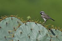 Black-throated Sparrow, Amphispiza bilineata, adult on Texas Prickly Pear Cactus (Opuntia lindheimeri), Starr County, Rio Grande Valley, Texas, USA
