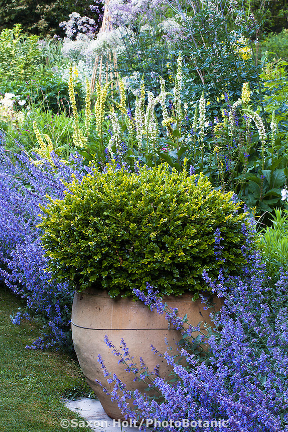Container, pot, urn with boxwood shrub 'Green Beauty' as focal point in perennial garden, Gary Ratway garden