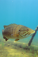 Smallmouth Bass<br />