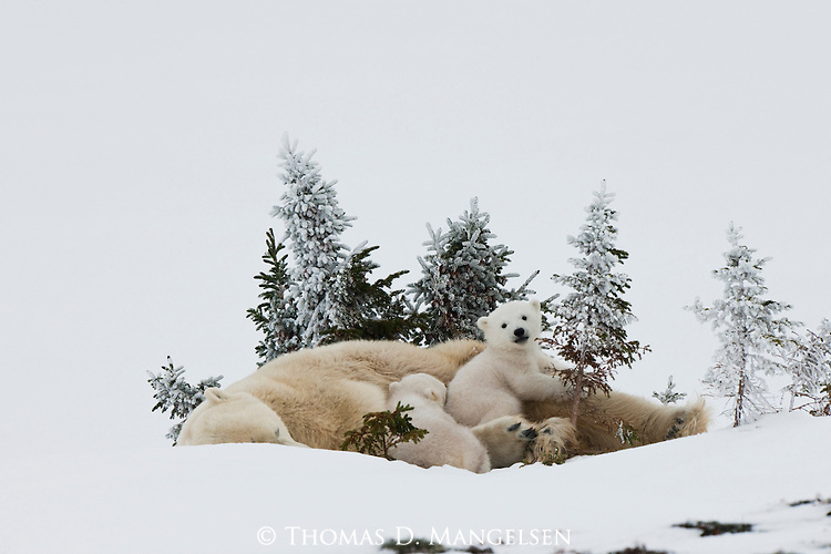 A polar bear cub watches the snowy landscape while its mother and sibling sleep in Manitoba, Canada.
