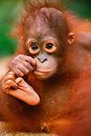 Bornean Orangutan juvenile, Borneo, Indonesia