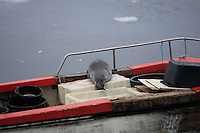 Harp Seal or Greenland seal lying on back deck of a hunter`s boat to bleed out. Disco Bay Greenland