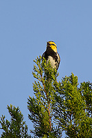 591850056 a wild male golden-cheeked warbler setophaga chrysoparia - was dendroica chrysoparia - an endangered species perches in a pine tree on mike murphy's los ebanos ranch in travis county texas united states