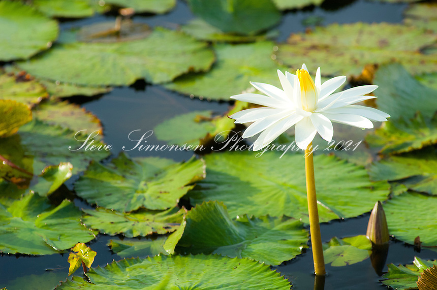 Lilly pad and flower in pond<br />