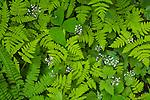 Forest floor flora, Mt. Rainier National Park, Washington, USA