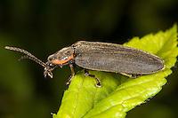 Winter Firefly (Ellychnia corrusca), West Harrison, Westchester County, New York