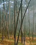 Clearing fog, Monterey pine forest, Skyline Forest, Monterey, California