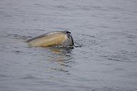 Fin Whale ( Balaenoptera physalus ) spyhopping,  hair follicles visible  Spitsbergen Arctic Norway North east Atlantic