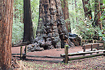 Old growth redwoods at Henry Cowell Redwoods SP