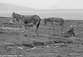 "Working donkeys resting, Dunquin (in Gaelic, Dún Chaoin, meaning ""Caon's stronghold""), on the tip of the Dingle Peninsula, County Kerry, Ireland.  1971."