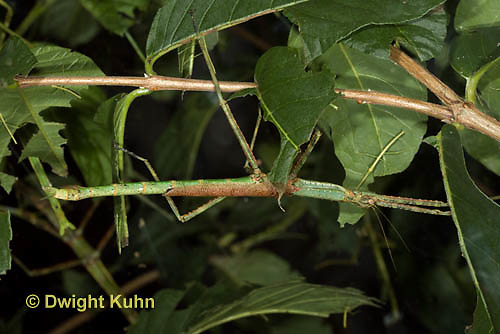 OR07-500z  Walking Stick Insect, Acrophylla wuelfingi