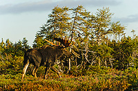 Bull Moose (Alces alces) in black spruce/boreal forest, fall, Cape Breton Highlands National Park, Nova Scotia, Canada.