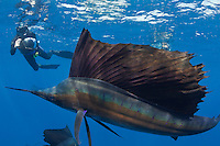 RG41533-D. Atlantic Sailfish (Istiophorus albicans) and underwater photographer (model released). Gulf of Mexico, Mexico, Caribbean Sea.<br /> Photo Copyright &copy; Brandon Cole. All rights reserved worldwide.  www.brandoncole.com
