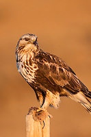 Rough-legged hawk with prey during winter in Wyomng