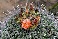 105700001 fishhook barrel cactus ferrocactus wislizenii in flower along a hiking trail in cienega creek nature preserve pima county arizona