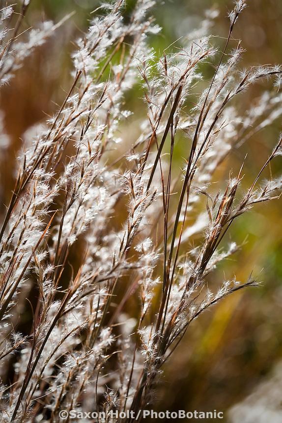Little Bluestem (Schizachyrium scoparium) silver backlit flowering grass in meadow garden