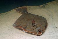 Flunder, Raubutt, Graubutt, Struffbutt, Sandbutt, Platichthys flesus, European flounder. Fisch des Jahres 2017