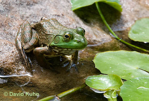 0818-1002  Northern Green Frog Sitting at edge of Pond, Lithobates clamitans, formerly Rana clamitans  © David Kuhn/Dwight Kuhn Photography