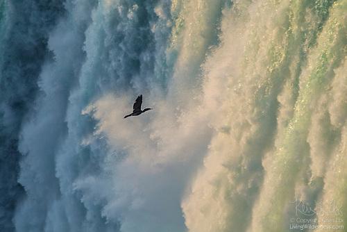 Cormorant in Cloud of Mist, Horseshoe Falls, Niagara Falls, Ontario, Canada