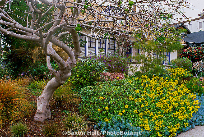 Aesculus californica (California Buckeye) in drought tolerant front yard garden with yellow flowered succulent, Sedum
