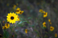 A bright yellow flower beckons to anyone passing by along the Arkansas Riverwalk in Canon Ciy, Colorado.