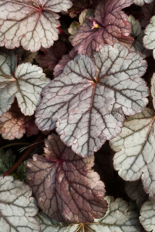 Heuchera Carnival Plum Crazy | Plant & Flower Stock Photography ...