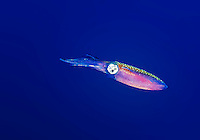 25 July 2015: A Reef Squid (Sepioteuthis sepioidea) is seen hovering at Lemon Reef, on the North side of Grand Cayman Island. Located in the British West Indies in the Caribbean, the Cayman Islands are renowned for excellent scuba diving, snorkeling, beaches and banking.  Mandatory Credit: Ed Wolfstein Photo *** RAW (NEF) Image File Available ***