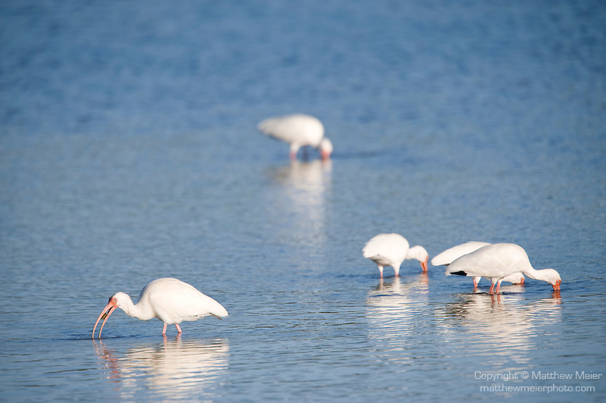 Ding Darling National Wildlife Refuge, Sanibel Island, Florida; five White ibis (Eudocimus albus) birds standing in the shallow water, foraging for food © Matthew Meier Photography, matthewmeierphoto.com All Rights Reserved